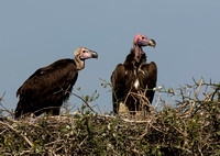 Lappet Faced Vultures on nest